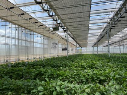 谁种出的草莓更好,人工智能VS顶尖农人?