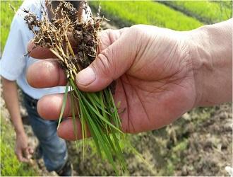 我国水稻种业的形势分析和发展探讨