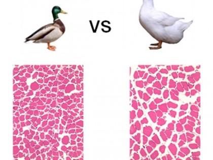 我科研人员成功克隆鸭肌纤维直径主效基因