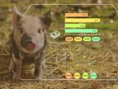 养猪企业为何热衷智能养殖
